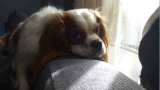 Dramatic Dog Wants To Go Walk (cavalier King Charles Spaniel)