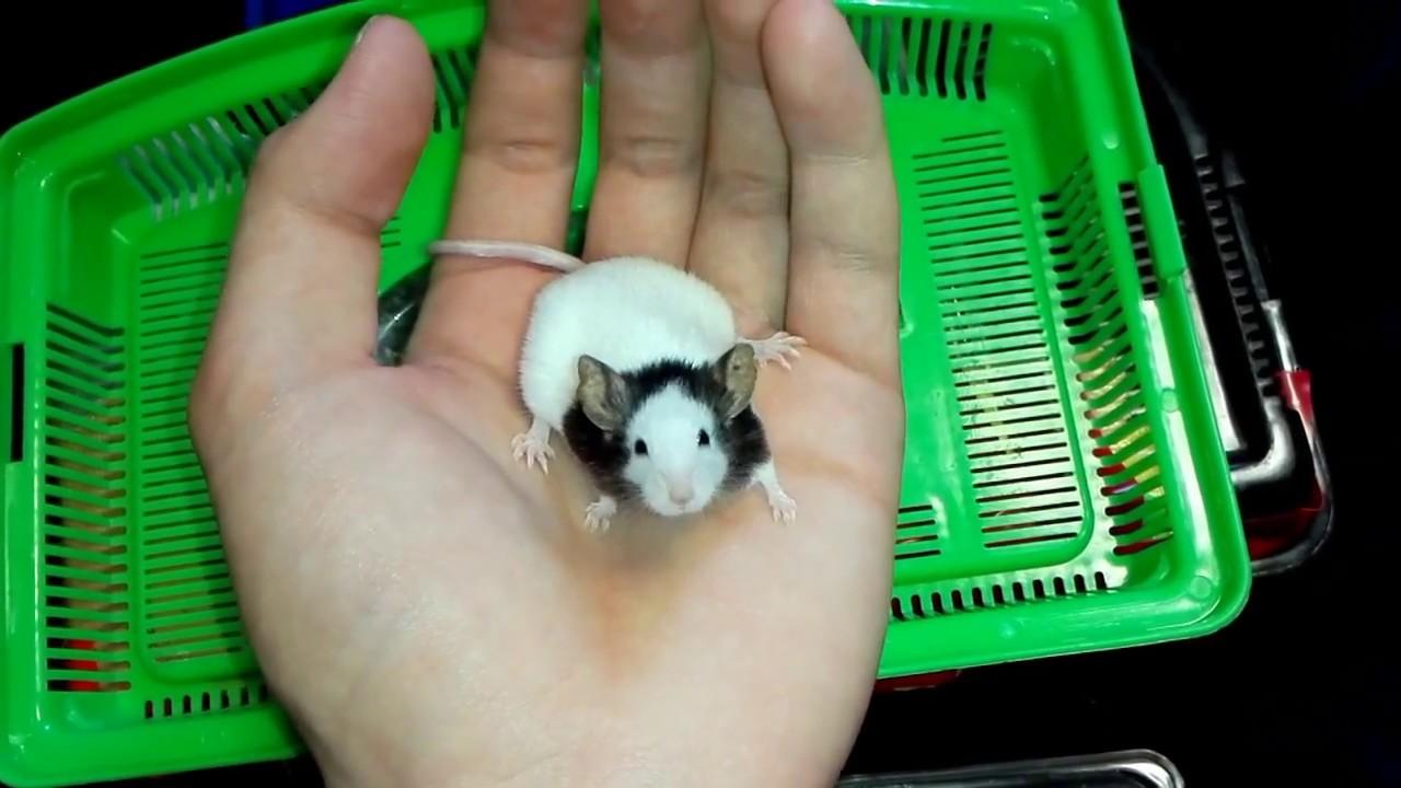 【1歳のパンダマウス】大きさがよく分かる!w 1 year old panda mouse