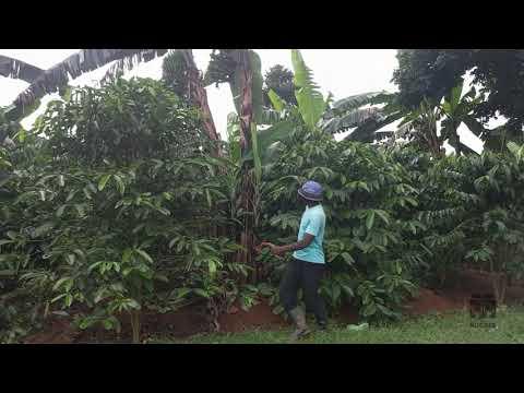 Spacing - 2 - Coffee Planting Training