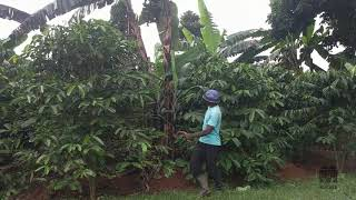 Spacing - 2 - Coffee Planting Training