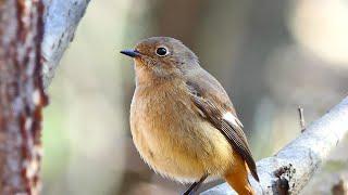 冬の間、雪の無い森で過ごした冬鳥たちは、春になると繁殖の為に北へ帰ります。又来年会えるのを楽しみにしています。今年の未公開の野鳥た...