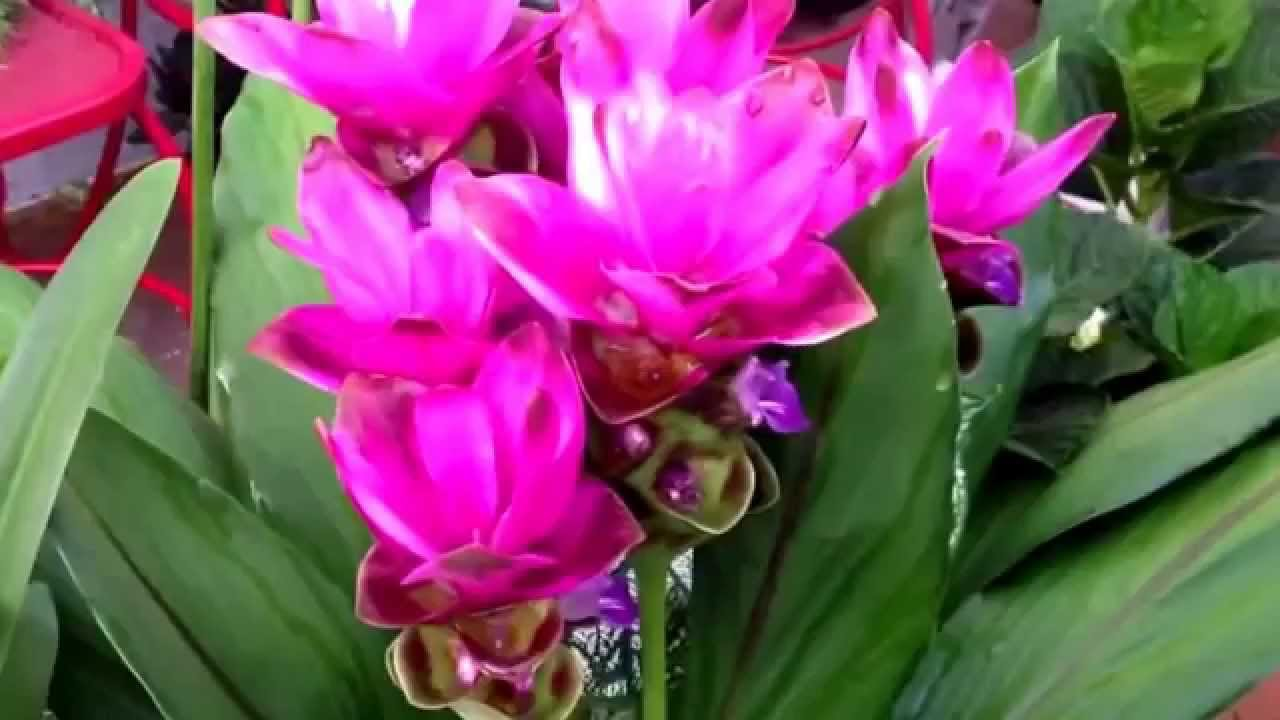 curcuma turmeric part sun flowering perennial for your courtyard container garden youtube. Black Bedroom Furniture Sets. Home Design Ideas