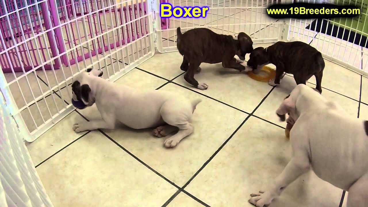 Boxer Puppies For Sale In Gresham Oregon County Or
