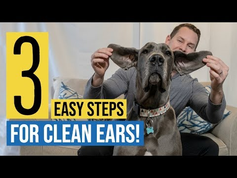 How to Clean a Great Dane's Ears