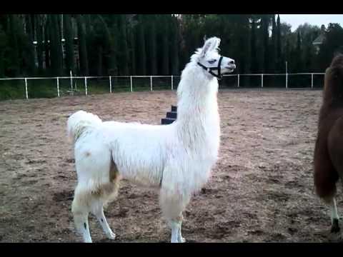 Llama Sounds | Llama Alarm Cry