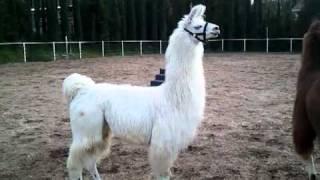 Llama Alarm Cry