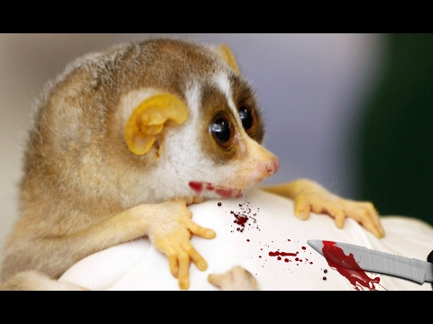 Toxic Bite Of Slow Loris - Poisonous Animals As Pets
