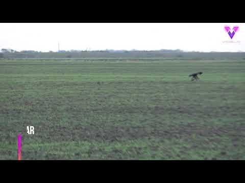 Una liebre salta sobre un águila que iba a cazarla