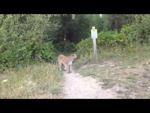 cougar-encounter-fernie-bc-canada