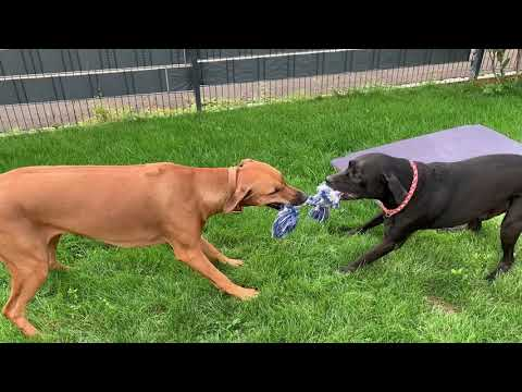 ❤❤❤ Rhodesian Ridgeback vs Labrador Retriever - rough play 2 - fun - backyard