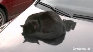 Кот на капоте автомобиля отдыхает