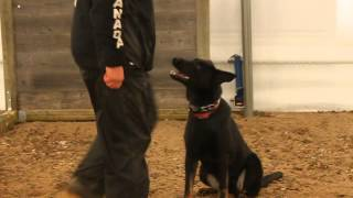 Phantom Von Narnia Ipo Obedience Training Jan 6, 2014