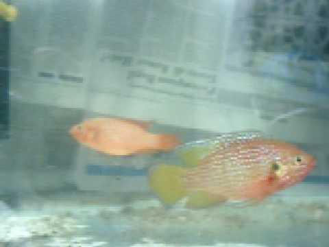 jewel cichlids mating