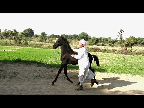 Stallion horse Ravi Jasar baby   Doovi