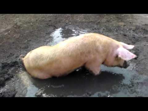 Как узнать гуляет ли свинья признаки