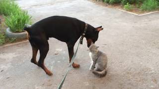 Самый дружелюбный кот на свете. The cat is friends with the one everyone is afraid of.