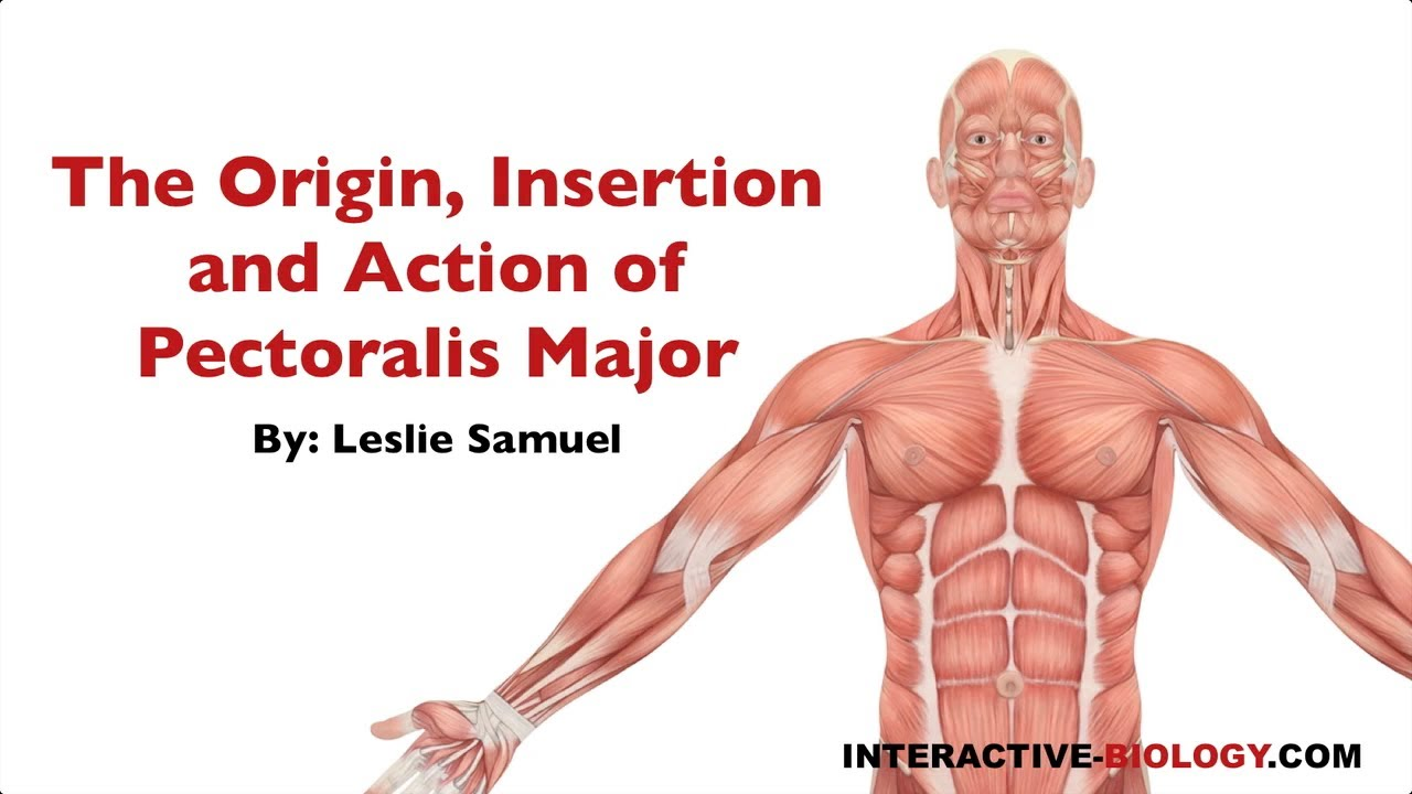 082 The Origin, Insertion, and Action of Pectoralis Major - YouTube