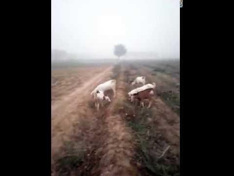 Goat Sixy video in Urdu hindi