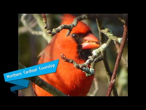 Sounds of Spring Northern Cardinal Courtship