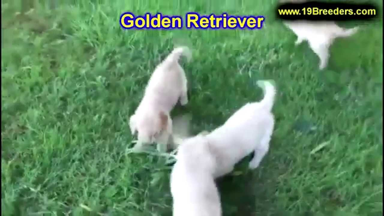 Puppies For Sale In Tupelo Ms >> Golden Retriever, Puppies, Dogs, For Sale, In Jackson, Mississippi, MS, 19Breeders, Hattiesburg ...