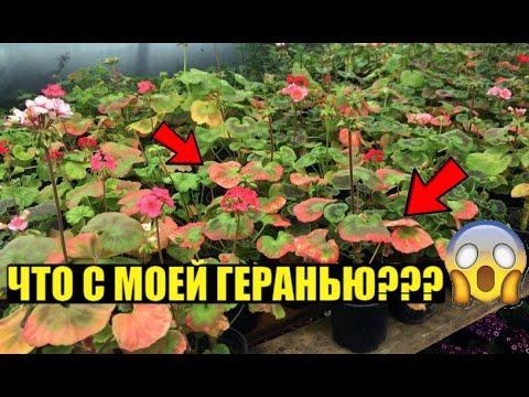 Вопрос: Пупырышки на листьях герани – это болезнь Что делать?