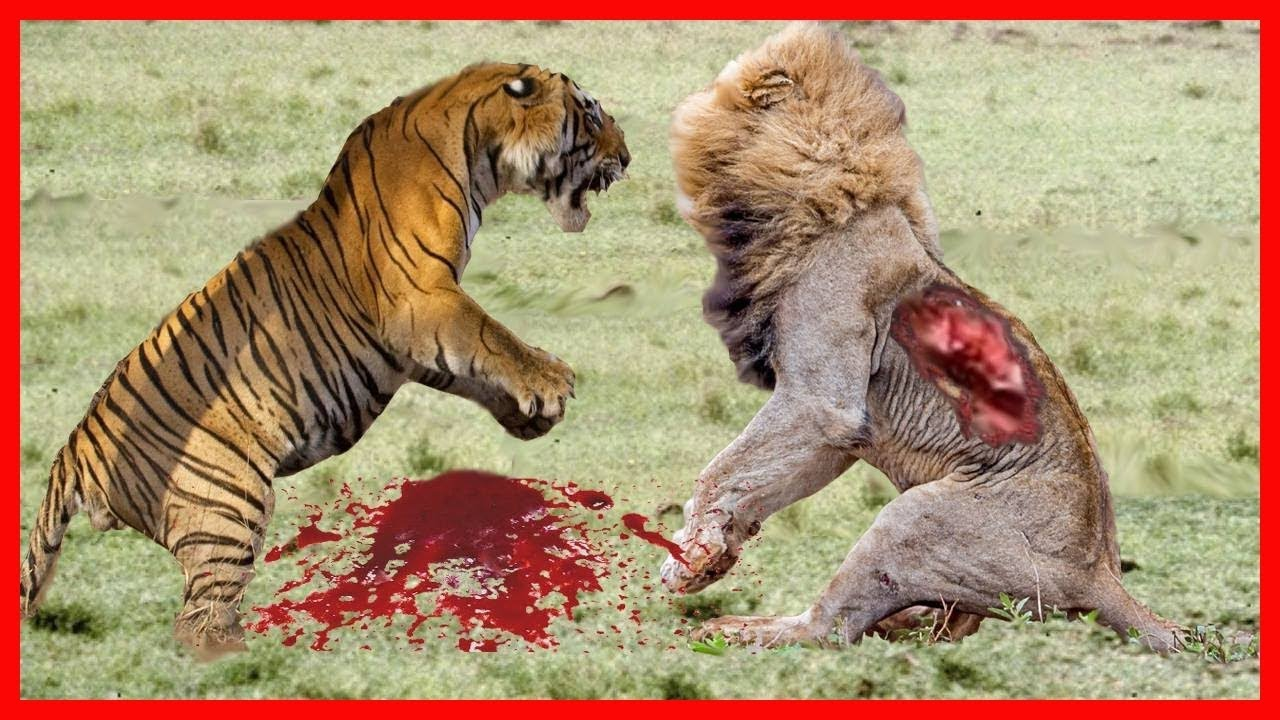 dangerous lion humans animal most attacks attack shocking