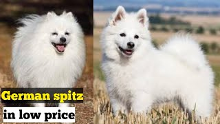 Cute german spitz dog available for sale in affordable price