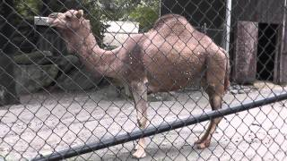 On Location: The Dromedary Camel