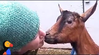 Rescued Goats Form SWEETEST Family | The Dodo: Comeback Kids