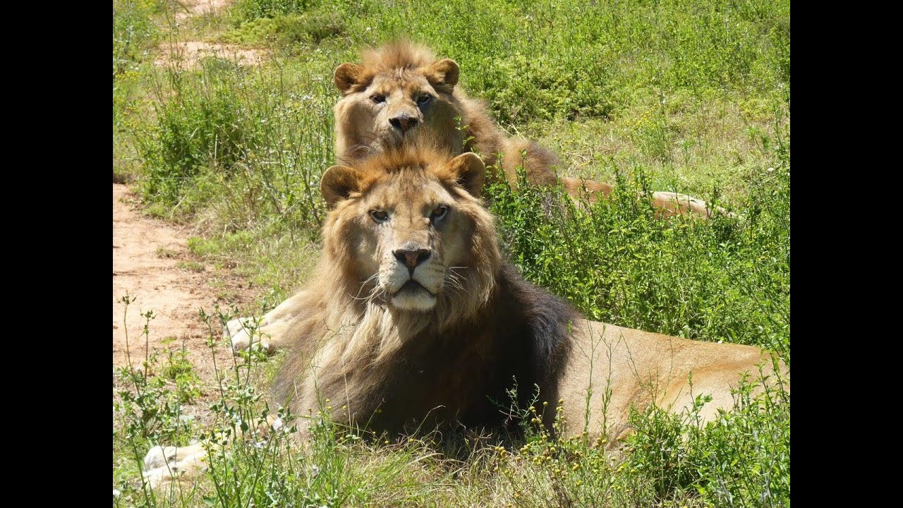 Jora and Black the Rescued Lions - YouTube