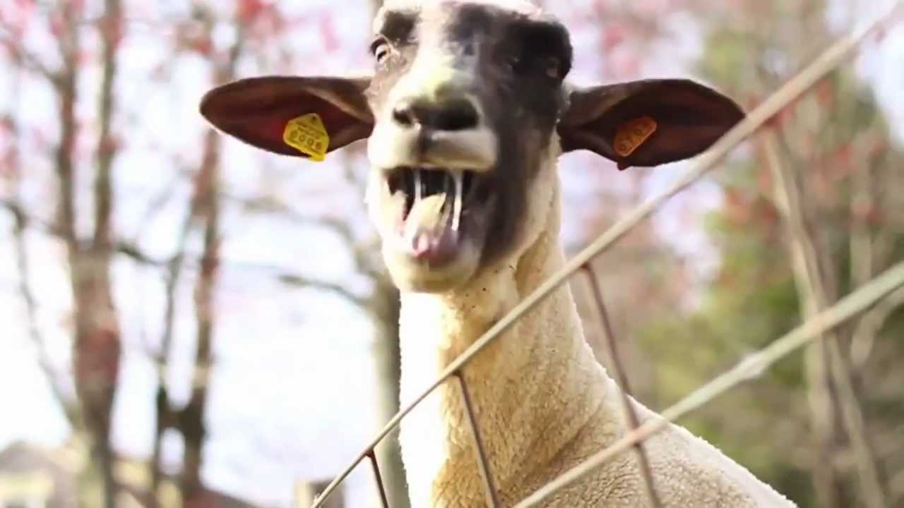 How would you spell the sound a goat makes?