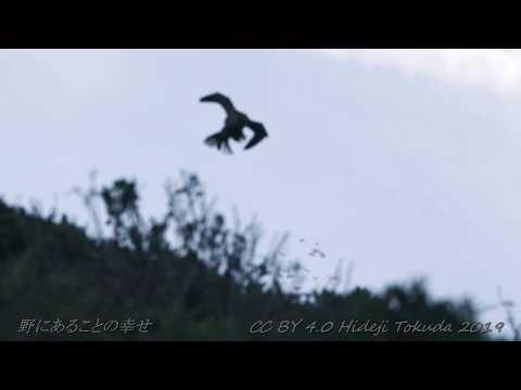 Peregrin Falcon ハヤブサ 中部の岬 10月下旬 野鳥FHD 空屋根FILMS#1118