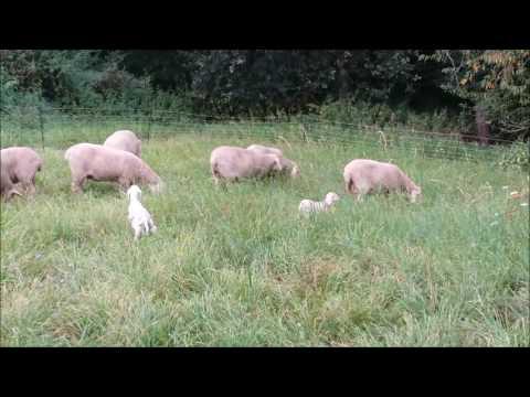 Nachwuchs auf der Weide - Die Schafe umgesiedelt von der einen Wiese auf die andere Wiese