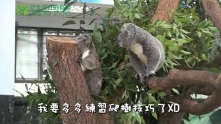 小無尾熊上幼幼班 Koala Kindergarten in Taipei Zoo
