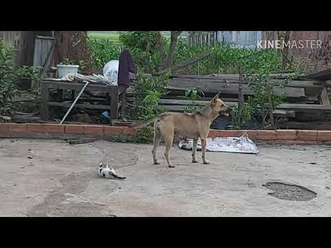 smart dog watching the house.chú chó cỏ thông minh trông nhà rất dõi.