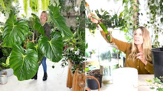Propagating a Giant Philodendron!