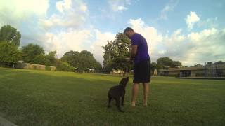 Duck Dog Training Chocolate Lab Trigger 3.5 Months Old Gopro