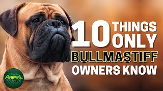 10 Things Only Bullmastiff Dog Owners Understand