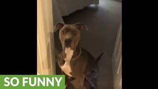 Pit Bull plays hide & seek with owners