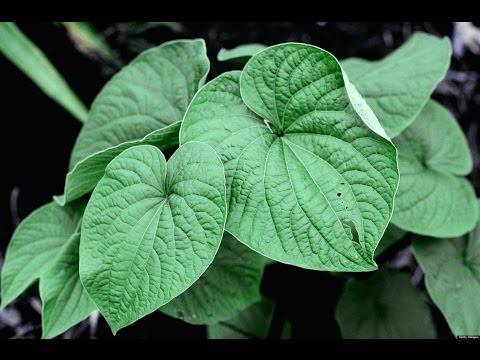 facts about kava Facts about kava what is kava kava is a drug made from the roots of a type of pepper plant called piper methysticum that grows in the pacific islands.