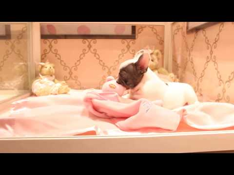 Frenchie Puppies For Sale - All Colors! We Ship & Finance