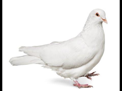 Bir Name- Dove
