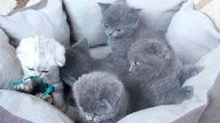 Шотландские котята. Продажа