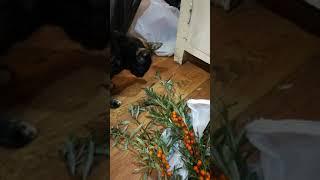 Кошка ест листья облепихи