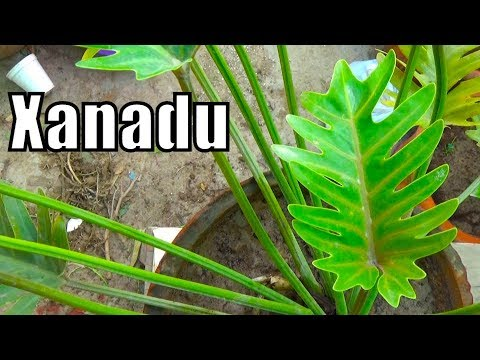 How to Care Philodendron Xanadu | Indoor Plant | Poisonous Plant (Urdu-Hindi)