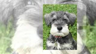 How To Train Miniature Schnauzer