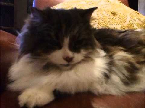 Norwegian Forest Cat grumbling