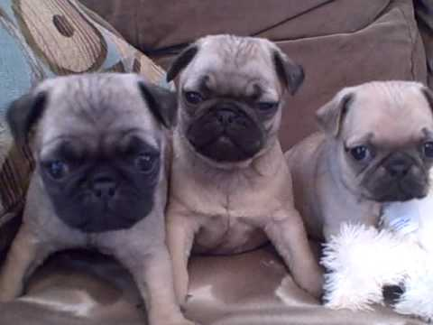 akc pug puppies for sale pug puppies for sale veto heights ohio akc pugs wmv youtube 742