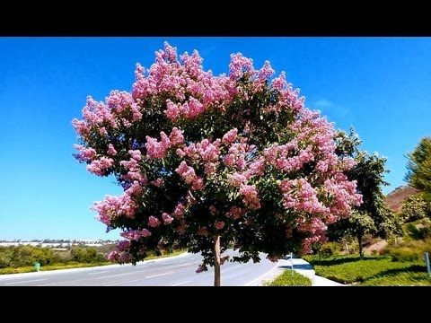 Pink Crape Myrtle Lagerstroemia Indica Carlsbad