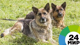Четвероногие ветераны: полицейские собаки на пенсии - МИР 24